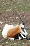 Scimitar Horned Oryx Stock Images