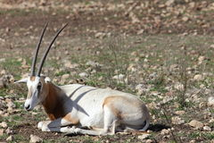 Scimitar Horned Oryx Royalty Free Stock Images