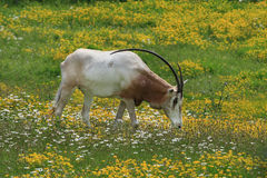 Scimitar-horned oryx. Is finding food to eat Stock Photos