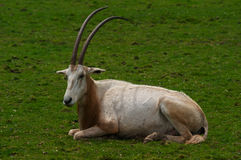 Scimitar horned Oryx Royalty Free Stock Photos