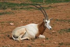 Scimitar horned oryx - African savvanah animal Royalty Free Stock Photo