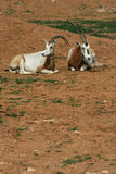 Scimitar horned oryx - African savvanah animal Stock Image