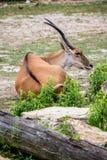 Scimitar-Horned Oryx Africian Antelope Stock Image