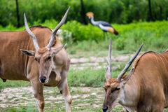 Scimitar-Horned Oryx Africian Antelope Royalty Free Stock Image
