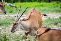 Scimitar-Horned Oryx Africian Antelope Stock Photography