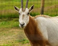 Scimitar horned oryx animal in zoo or farm. royalty free stock images