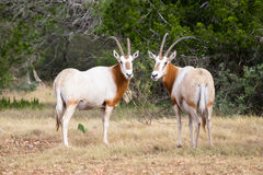 Scimitar Horned Oryx Bull and Cow Stock Photo