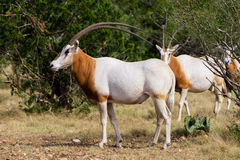 Scimitar Horned Oryx Bull Standing Royalty Free Stock Photo