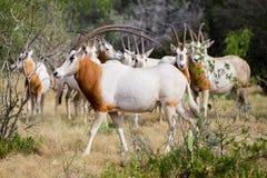 Scimitar Horned Oryx Bull Stock Photos