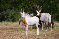 Scimitar Horned Oryx Calf. Wild Scimitar Horned Oryx calf standing to the left. These animals are extinct in their native lands of Africa Stock Photos
