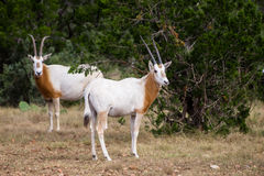 Scimitar Horned Oryx Calf. Wild Scimitar Horned Oryx calf standing to the right. These animals are extinct in their native lands of Africa Royalty Free Stock Photography