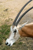 Scimitar-horned Oryx(close) Stock Photography
