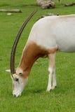 Scimitar horned oryx royalty free stock photography