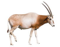 Scimitar Horned Oryx cutout. Scimitar Horned Oryx (damma) isolated on white  with clipping path Stock Images
