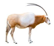 Scimitar Horned Oryx cutout. Scimitar Horned Oryx (damma) isolated on white Stock Photography