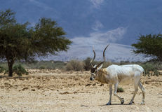 The scimitar horned oryx Stock Image
