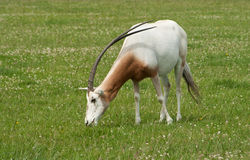 Scimitar-Horned Oryx, endangered species. Scimitar-Horned Oryx showing off his splendid horns royalty free stock photo