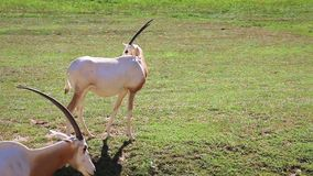 Scimitar horned oryx (gazelle) is looking around and eating (nibbling) grass, grazing, stock video footage