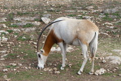 Scimitar Horned Oryx Stock Image