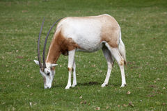A Scimitar Horned Oryx grazing on grassland Royalty Free Stock Image