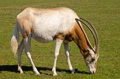 Scimitar horned oryx grazing Stock Photo