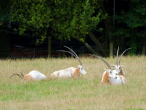 Scimitar-Horned Oryx Stock Image