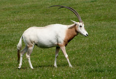 Scimitar Horned Oryx with magnificent horns Royalty Free Stock Photos