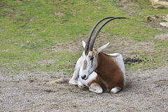 Scimitar horned oryx. Stock Image