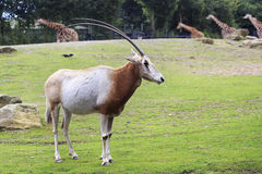 Scimitar horned oryx. Stock Photo