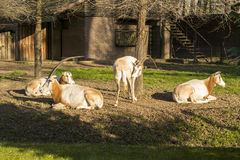 Scimitar-Horned Oryx (Oryx dammah) Stock Photos