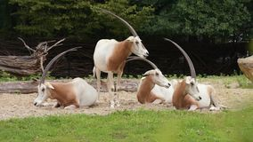 Scimitar Horned Oryx. Scimitar-Horned Oryx relaxing in zoo. Magnificent Oryx eating grass stock footage