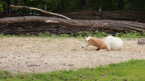 Scimitar Horned Oryx. Scimitar-Horned Oryx relaxing in zoo. Magnificent Oryx eating grass stock video footage