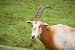 Scimitar-horned Oryx. In profile Royalty Free Stock Photos
