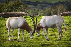Scimitar Horned Oryx. Which was once widespread across North Africa but is now an endangered species of antelope stock photo