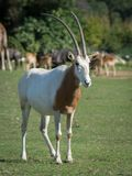 Scimitar-horned oryx. The scimitar oryx or scimitar-horned oryx Oryx dammah, also known as the Sahara oryx, is a species of Oryx once widespread across North Royalty Free Stock Images