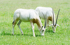 Scimitar horned oryx together Stock Photo
