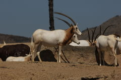 Scimitar-horned oryx (Oryx dammah) Royalty Free Stock Image
