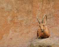 Scimitar Ibex Royalty Free Stock Images