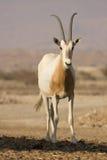 scimitar oryx антилопы стоковая фотография