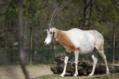 Scimitar oryx Stock Images