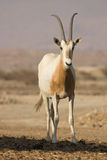 Scimitar Oryx antelope  Stock Photography