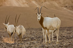 Scimitar oryx antelopes stock photo