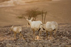 Scimitar oryx antelopes family stock photography