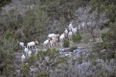 Scimitar Oryx Climbing. Scimitar oryx walking up a mountain Stock Photo