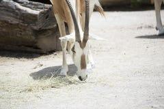 Scimitar Oryx Royalty Free Stock Photography