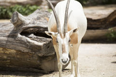 Scimitar Oryx Royalty Free Stock Images