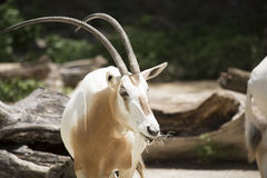 Scimitar Oryx Royalty Free Stock Photos