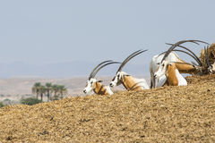 Scimitar oryx  dammah. Oryx dammah - group of three, taken in a reservation in the Arava in Israel Stock Photo