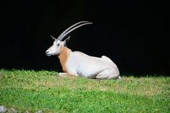 Scimitar oryx or oryx dammah on the lawn. stock image