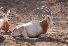 Scimitar oryx Royalty Free Stock Photo